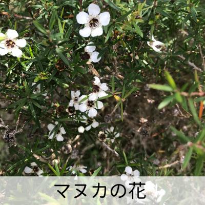ミッドランド社 マヌカハニーUMF15+ 250g