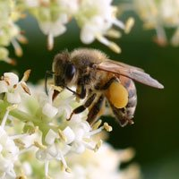 春蜂 花粉荷 140g