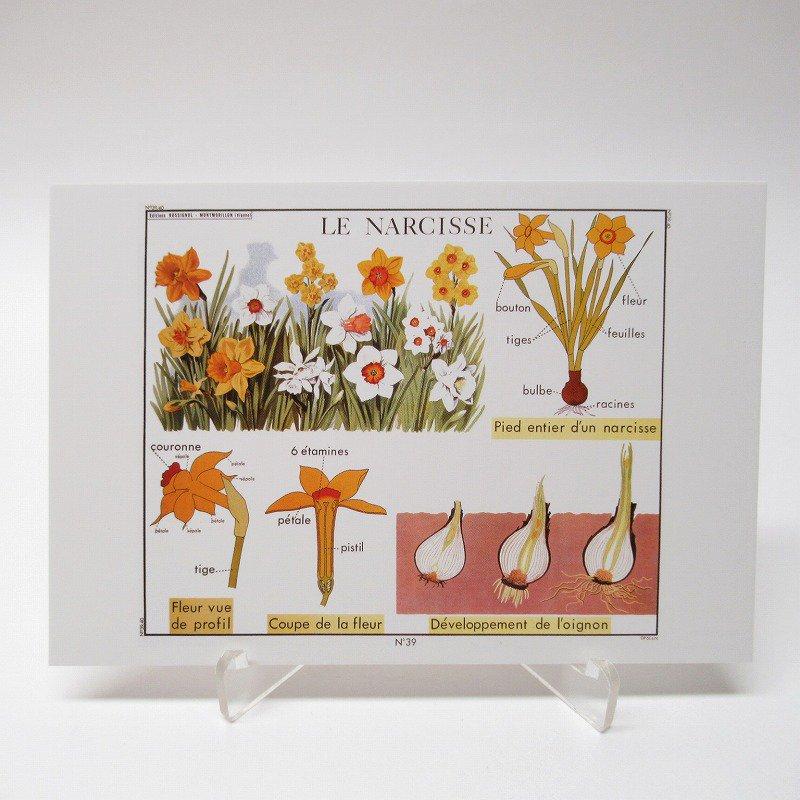 ヴィンテージポストカード 1954年復刻版 Narcissus 未使用