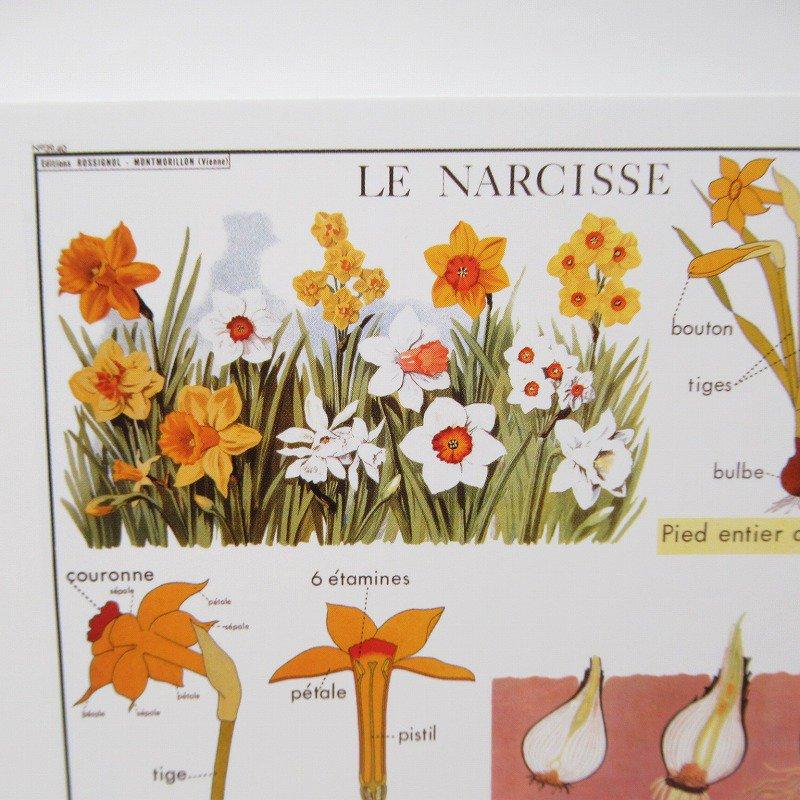 ヴィンテージポストカード 1954年復刻版 Narcissus 未使用【画像2】