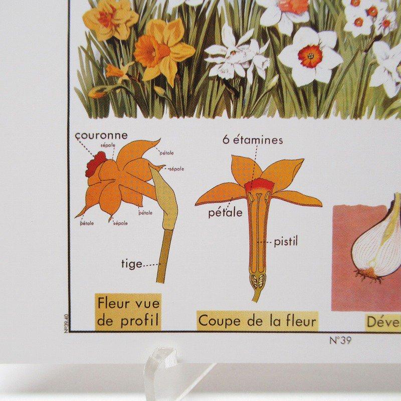 ヴィンテージポストカード 1954年復刻版 Narcissus 未使用【画像4】